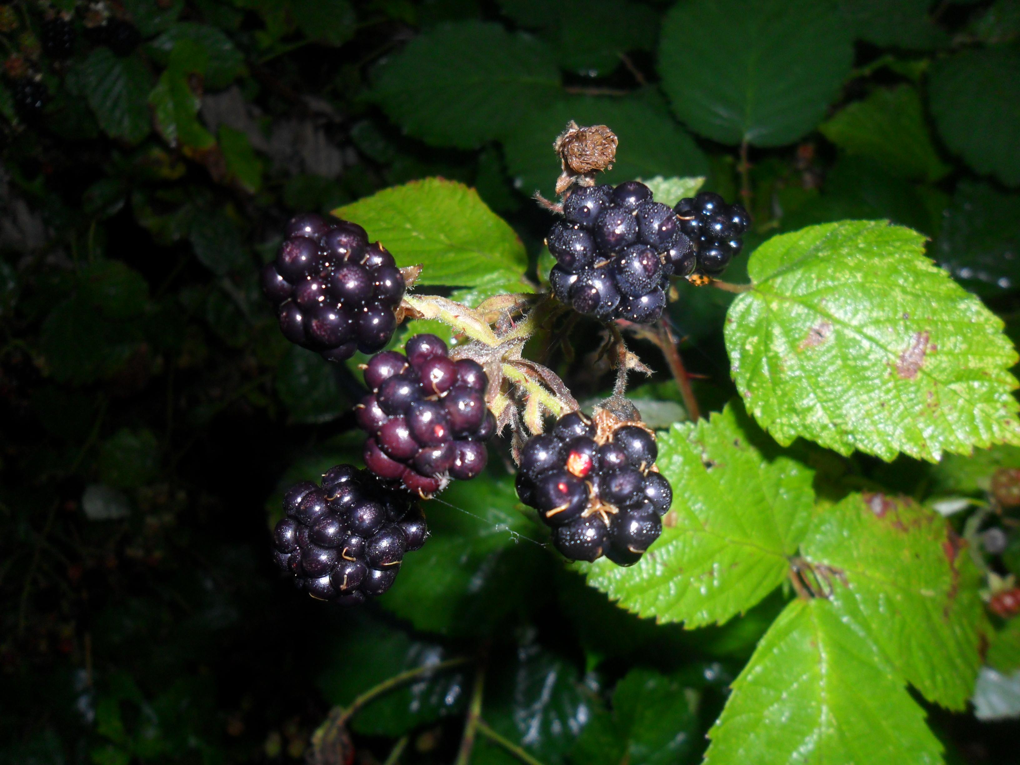 Wild Blackberry Leaves Beautiful Blackberries...