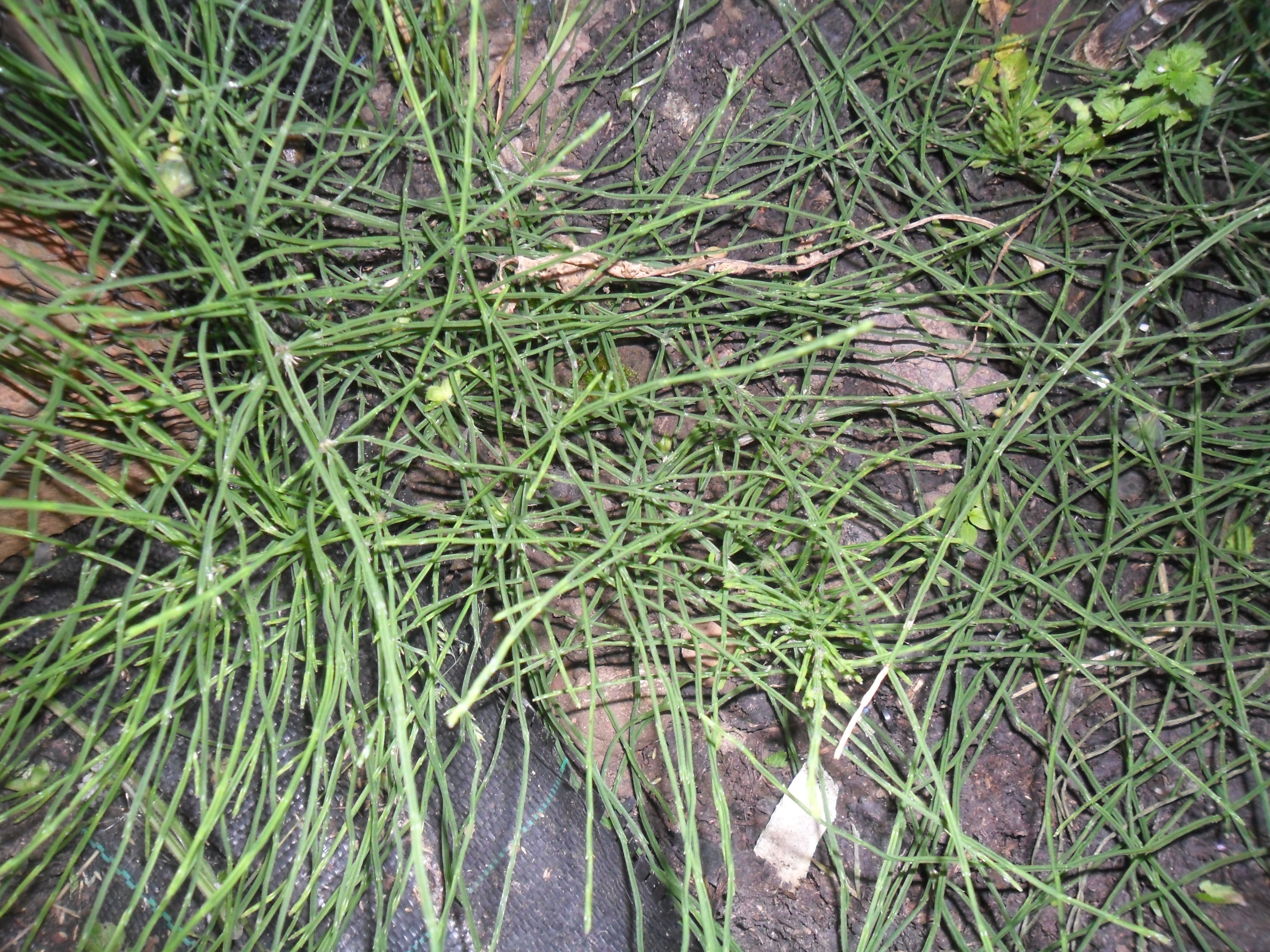 Horsetail | not just greenfingers
