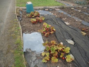 The Rhubarb at my plot