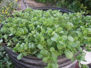 My watercress in 2012