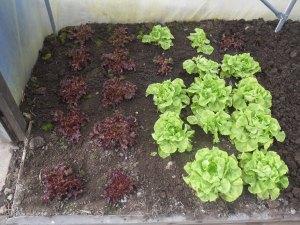 Overwintering salads