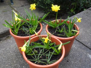 My pots of bulbs, courtesy of 'Spalding Bulbs'