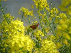 Mizuna in flower