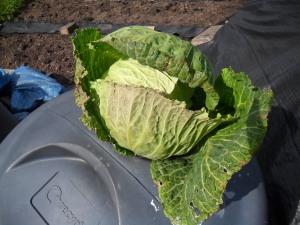 Overwintering cabbages
