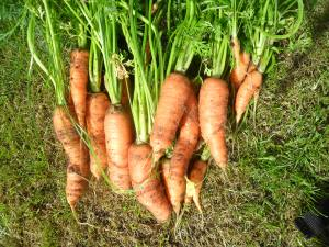 Some of last years carrots