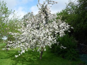 The appletree at my allotment