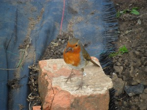 A robin that visits me daily at my allotment.