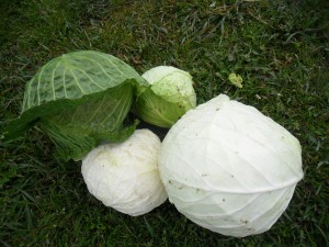 My last winter cabbages