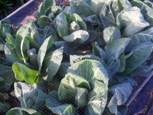 Spring cabbages
