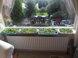 Tomatoes ripening on my windowsill last year