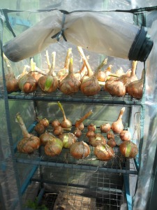 My onions drying in my mini-greenhouse