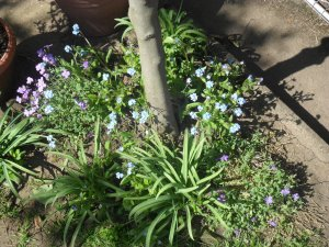 The Forget-me-nots and Aubrietia that I brought back from my allotment