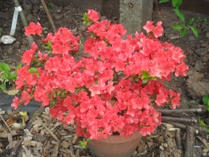 My 'free' azalea that I have grown from a tiny little plant
