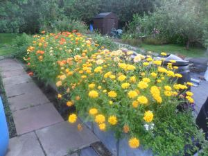 'Calendula Alley' at my old allotment plot