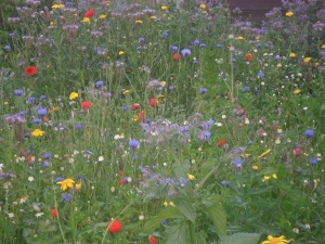 The wildflower patch at my old allotment plot