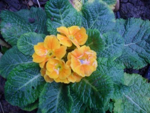 A 'surprise' primrose growing this week in my kitchen garden.....the dull weather has probably been confusing it!