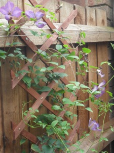 Clematis still in flower in my garden