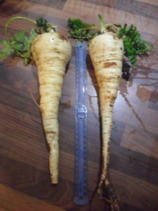 Parsnips next to a 30 cm ruler